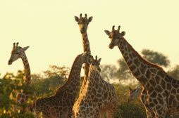 How posting your safari pics on social media leads hunters instantly to the animals you adore